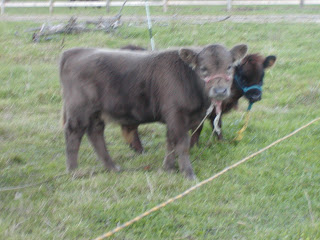 Hank calf photo